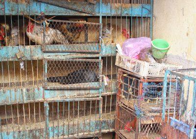 maroc-oulad-teima-poules-08