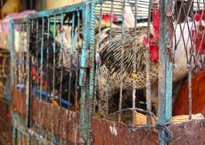 maroc-oulad-teima-poules-09