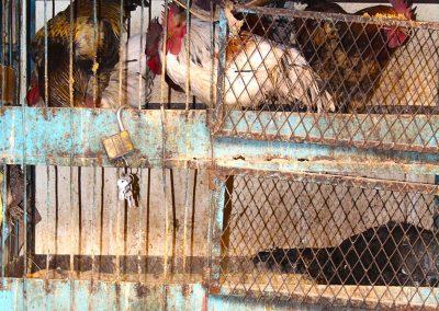 maroc-oulad-teima-poules-10